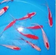 "6"" Mixed Goldfish - 8 ct"