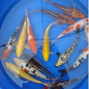 """12"""" Decorative Butterfly Koi - 1 ct"""