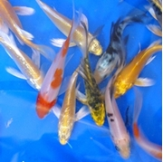 """5"""" Select Butterfly Koi - 12 ct"""